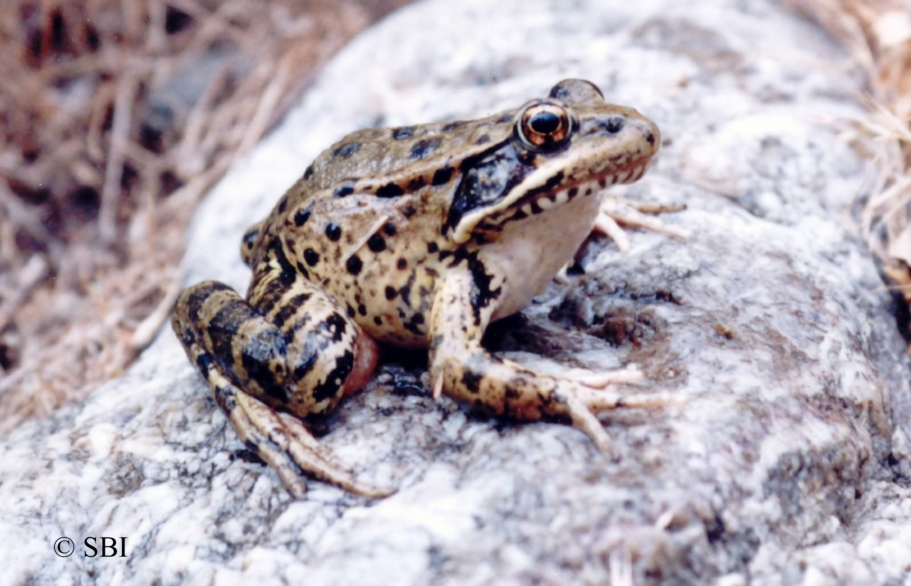 CA Red-legged Frog on rock