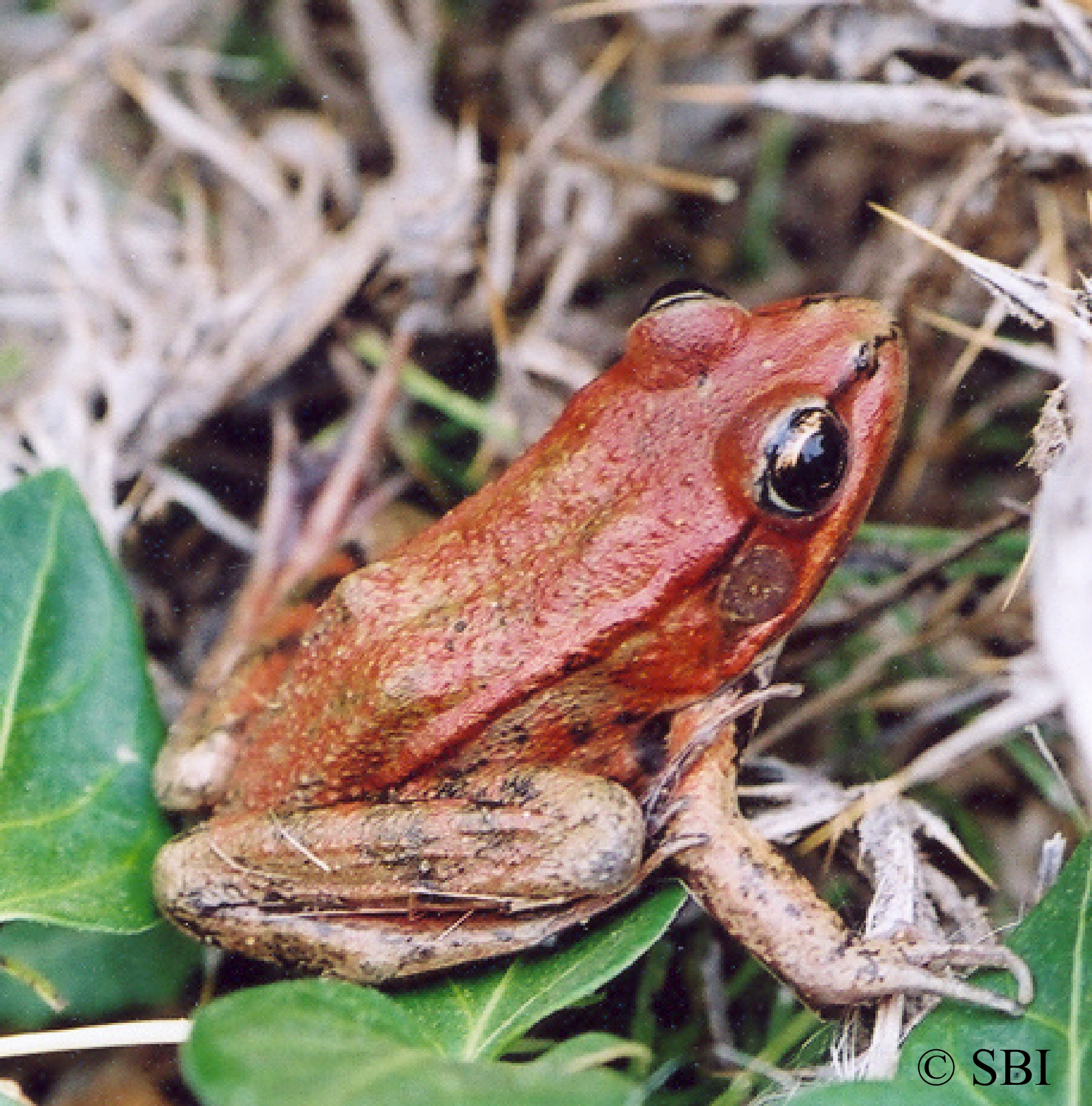 CA Red-legged Frog - Red morph