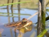 CA Red-legged Frog in water