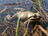 Chorus Frog in Water