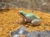 Green Chorus Frog