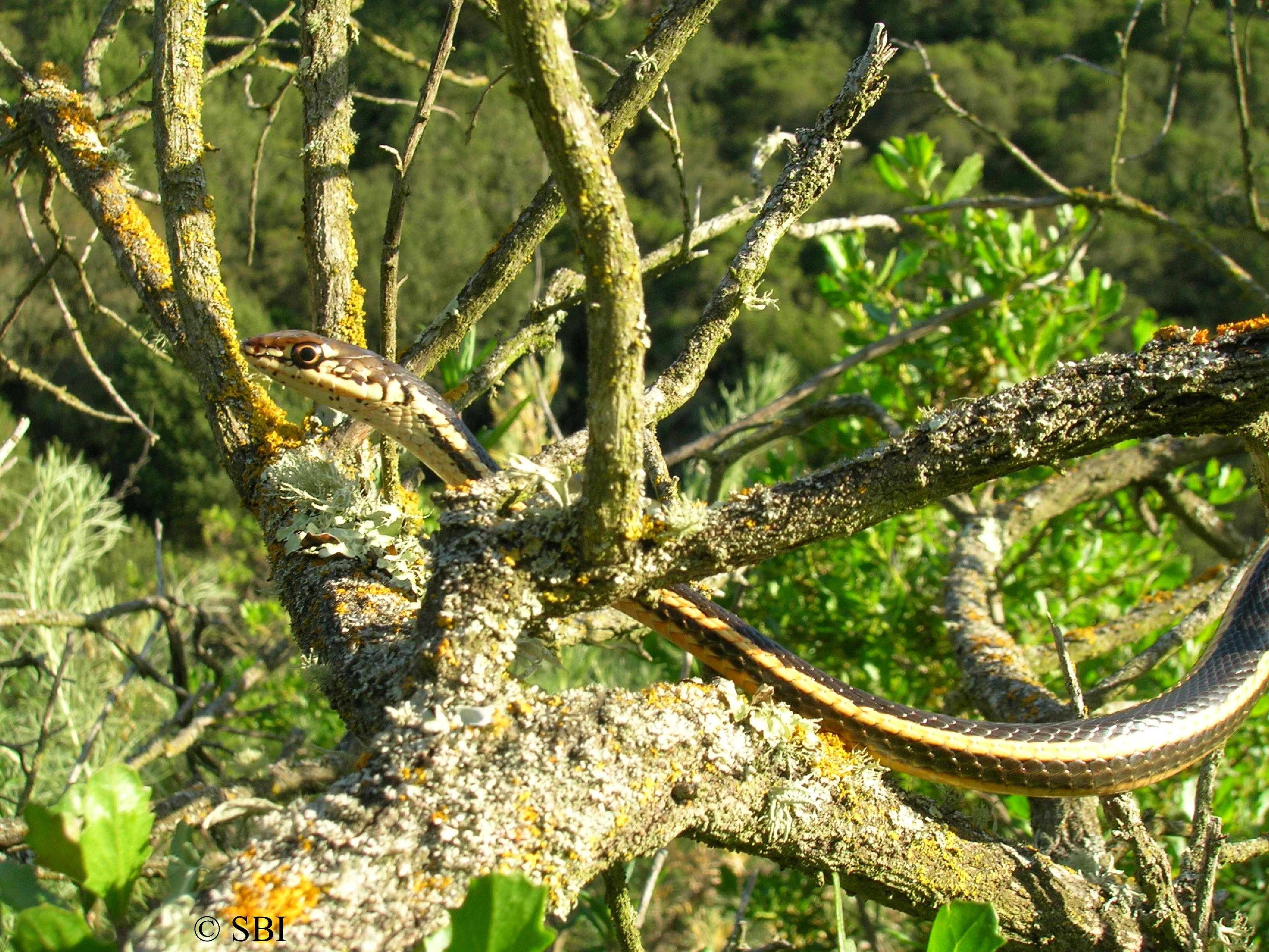 Alameda Whipsnake in scrub
