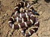 Common King Snake