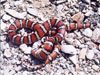 Mountain King Snake